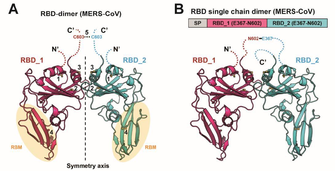 中国科学家在β冠状病毒疫苗研究领域再获重要进展图片