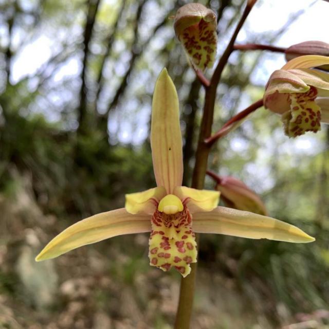 秦岭国家植物园发现中国最北端野生蕙兰种群